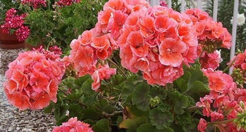 """Результат пошуку зображень за запитом """"9 недугов, которые лечит герань. Не цветок, а помощник народных целителей!"""""""